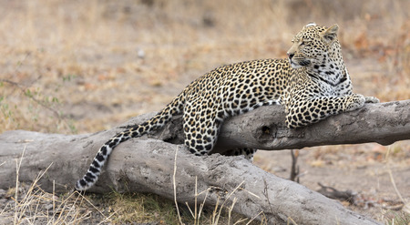 Leopard resting on a fallen tree log to rest after hunting Stock Photo