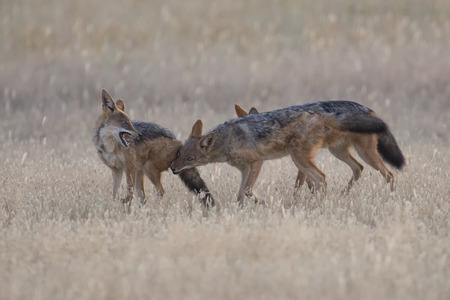 Three Black Backed Jackals playing in the Kalahari on a plain