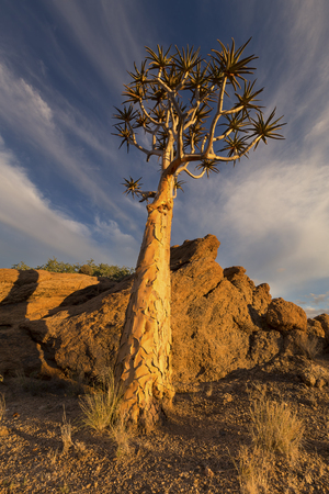 Landscape of a Quiver Tree with blue sky and thin clouds in the dry desert Stock Photo