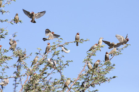 Swarm of Red Headed Finches in a Kalahari thorn tree and the blue sky
