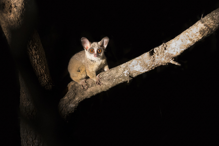 Bushbaby clinging to a branch in the dark illuminated by a spotlight