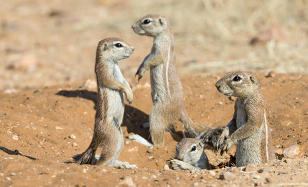 Family of Ground Squirrels carefully come out of their burrow in the Kalahari Stock Photo