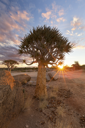 Landscape of a Quiver Tree with sun burst and thin clouds in the dry desert