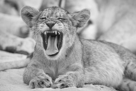 Close-up of a small lion cub yawning on soft Kalahari sand in an artistic conversion Stock Photo