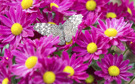 Close-up of a brown butterfly sitting on a pink flower Foto de archivo - 101979452
