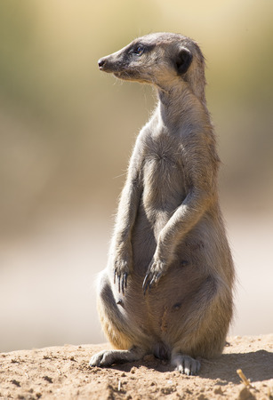 Suricate keeps a lookout at its den in the sandy soil of the Kalahari