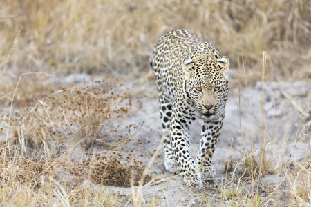 Lone leopard walking and hunting in nature during daytime