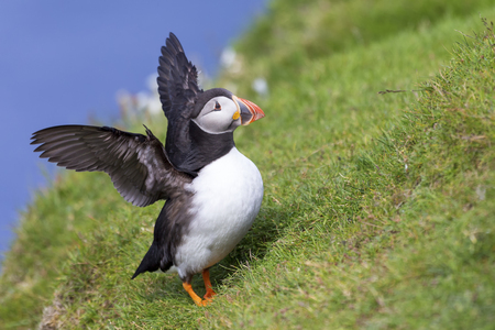 Puffin takes off to go catch fish on Shetland Island with strong winds