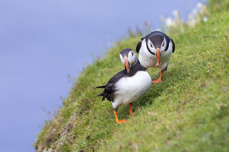 Two Puffins on Shetland Island resting on green grass of a sea cliff