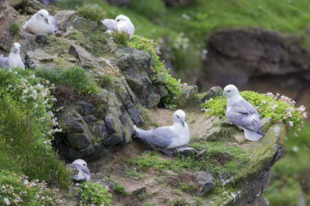 Colony of Fulmar sitting by their nest along a cliff on the Shetland Islands 免版税图像