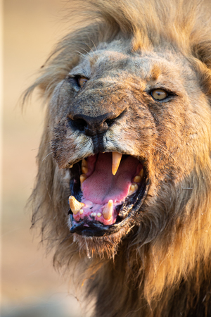 Lion male with a huge mane and long teeth give yawn with after eating Stock Photo
