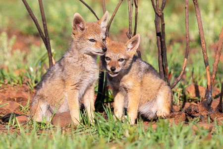 Two Black Backed Jackal puppies play in short green grass to develop their skills Stock Photo