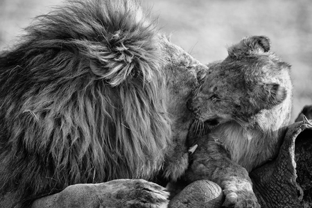 Lion male with a huge mane play with his cub on a carcass in artistic conversion