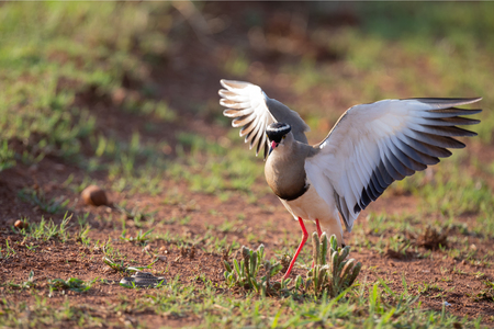 Crowned Lapwing trying to fend off a small snake from its nest