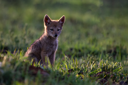 Lone Black Backed Jackal pup sitting in short green grass to explore the world Stock Photo