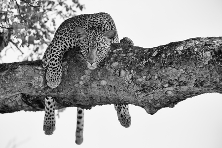 Leopard female resting in a thick branch a tree in a artistic conversion
