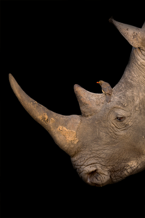 White rhino portrait with a red-billed oxpecker on its nose on a black background artistic conversion