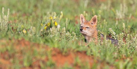 Lone Black Backed Jackal pup sitting in short green grass to explore the world Stockfoto
