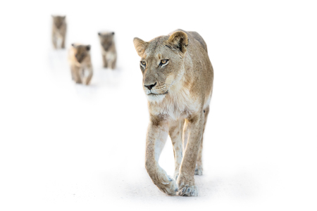 Lion female walking with three small cubs in high key artistic conversion