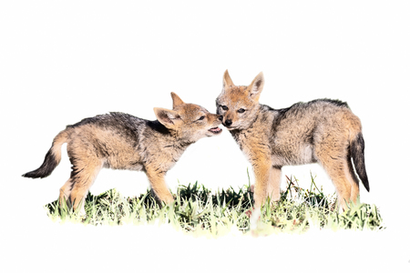 Two Black Backed Jackal puppies play on short green in artistic high key conversion