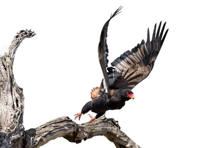 Adult Bateleur taking off from a dry tree in high key artistic conversion