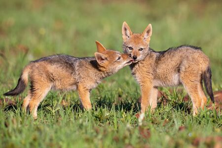Two Black Backed Jackal puppies play in short green grass to develop their skills