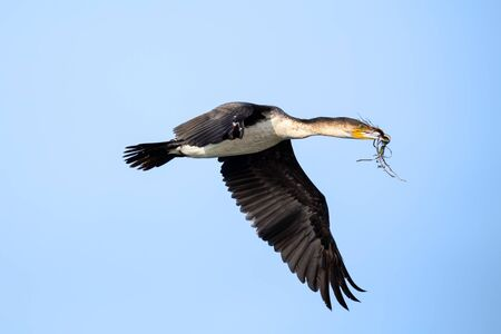 White breasted cormorant flying against blue sky with nest building material