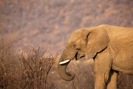 Close-up of an elephant eating bark from a dry thorn shrub 写真素材
