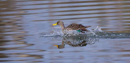 Single Yellow Billed Duck landing with a splash on a the pond