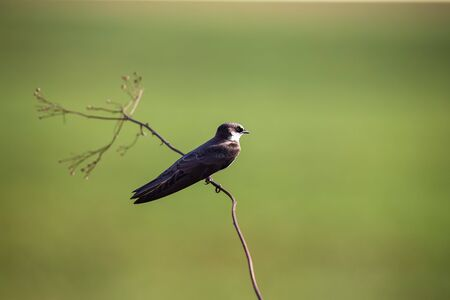 Banded Martin sitting on a thin brown branch in bright sunlight green background Reklamní fotografie
