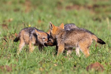 Three Black Backed Jackal puppies play in short green grass to develop their skills