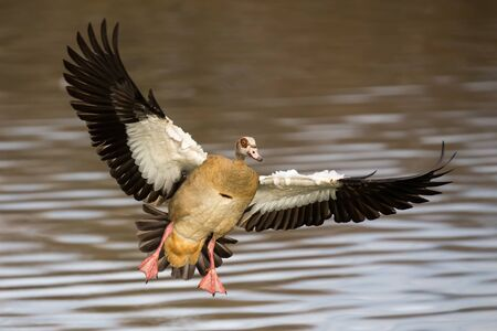 Single Egyptian Goose landing with a splash on a the pond