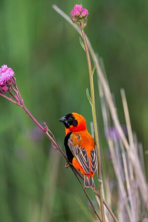Single Red-Bishop sitting the stem of a purple wildflower