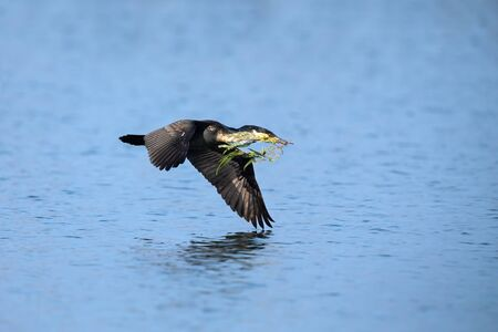 White breasted cormorant flying low over a lake with nest building material Stockfoto