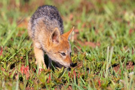 Lone Black Backed Jackal pup standing in short green grass explore the world