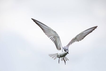 Whiskered tern in flight on a cloudy day with spread wings artistic conversion Stock Photo