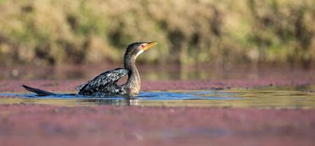 Single Reed Cormorant landing on a pond after a long flight to catch fish