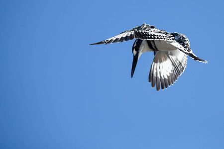 Single Pied Kingfisher flying against a blue sky to hunt for food Stock Photo