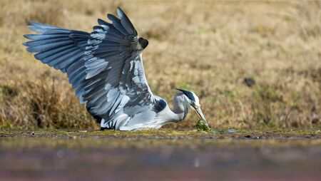 Grey Heron catching a fish in a dam covered in some water grass