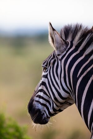 Close-up portrait of a zebra in nature with dark black stripes