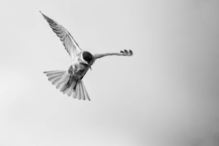 Whiskered tern in flight on a cloudy day with spread wings artistic conversion Reklamní fotografie