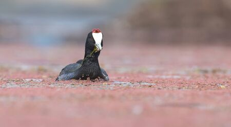 One Red Knobbed Coot bringing a small fish for the chicks at its nest Reklamní fotografie