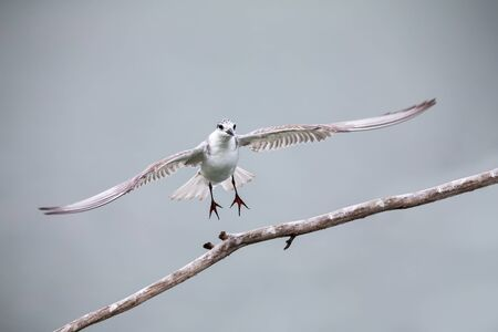 Whiskered tern in flight landing on branch with wings spread wide