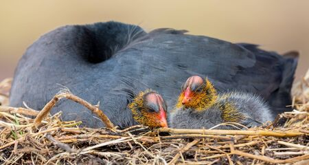 Red Knobbed Coot sitting on a nest with two chicks protecting them