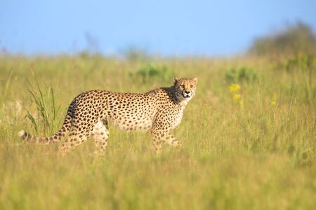 Lone Cheetah stalking its prey through long grass of the veldt