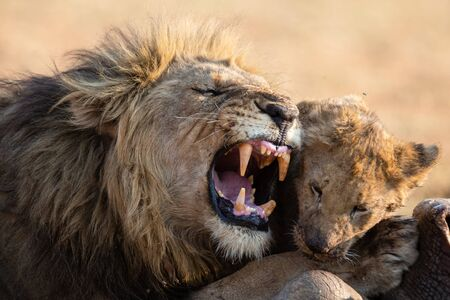 Lion male with a huge mane play with his cub on the carcass