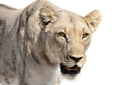 Close-up of lioness isolated in artistic conversion looks very aggressive forward