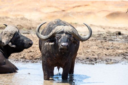 Cape buffalo cool down in muddy pond on a very hot day