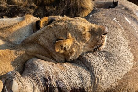 Angry and hungry lioness feed on the carcass of a dead rhino Stock Photo