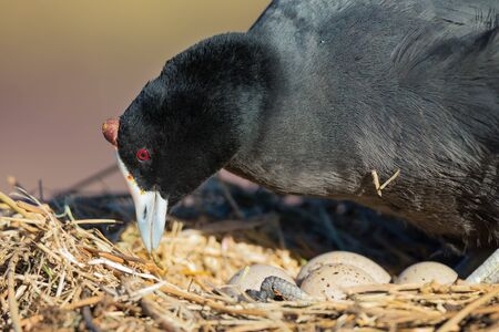 Red Knobbed Coot sitting on a nest with two eggs that starts to crack